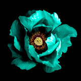 För pionblomma för overklig mörk krom isolerad cyan makro Arkivbild
