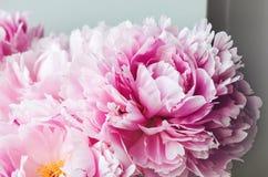 För pionpion för skönhet rosa makro för blomma för rosor Pastellfärgad blom- tapet, bakgrund från kronblad Feriebröllopbegrepp Arkivfoto