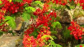 För Poinciana för flammaträd kunglig längd i fot räknat vibrerande röd blommor HD stock video