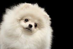 För Pomeranian för Closeup som roligt se för päls- gullig vit hund Spitz isoleras royaltyfri foto