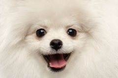 För Pomeranian för lycka för Closeup nyfiket le för päls- vit hund Spitz arkivfoton