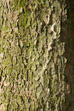 för poplartextur för skäll gammal tree Arkivfoton