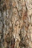 för poplartextur för skäll gammal tree Royaltyfri Fotografi