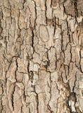 för poplartextur för skäll gammal tree Royaltyfria Bilder