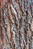 för poplartextur för skäll gammal tree Arkivbilder