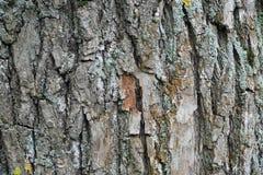 för poplartextur för skäll gammal tree Royaltyfria Foton