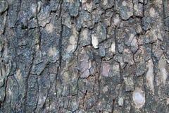 för poplartextur för skäll gammal tree Fotografering för Bildbyråer