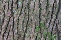för poplartextur för skäll gammal tree Arkivbild