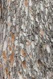 för poplartextur för skäll gammal tree kork Royaltyfria Bilder