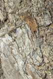 för poplartextur för skäll gammal tree kork Royaltyfri Bild
