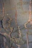 för poplartextur för skäll gammal tree kork Arkivbild