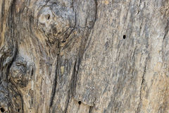 för poplartextur för skäll gammal tree kork Arkivbilder