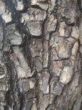 för poplartextur för skäll gammal tree Naturträbakgrund Royaltyfria Bilder