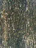 för poplartextur för skäll gammal tree Royaltyfri Bild