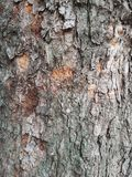 för poplartextur för skäll gammal tree royaltyfri foto