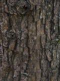 för poplartextur för skäll gammal tree Bakgrund av skället av den gammala oaken Arkivfoto