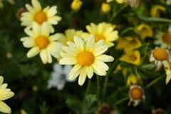 För prästkragetusensköna för skönhet gula blommor royaltyfria bilder