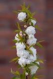 För Prunusglandulosa för kinesisk buske körsbärsröd Alba Plena för ` `, Arkivfoton