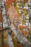 För pumakuguar för vuxen man concoloren klättrar ner björkträdet royaltyfria foton