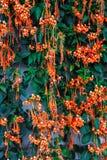 För Pyrostegia Venusta/för Closeup ny bakgrund för vinranka för Firecracker för Flower/för flamma orange Trumpet/ Arkivfoton