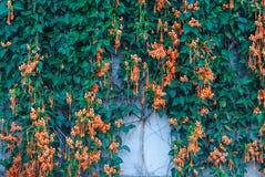 För Pyrostegia Venusta/för Closeup ny bakgrund för vinranka för Firecracker för Flower/för flamma orange Trumpet/ Royaltyfri Bild