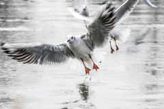 för queensland för mooloolaba för Australien kustflyg taget solsken seagulls Royaltyfri Fotografi