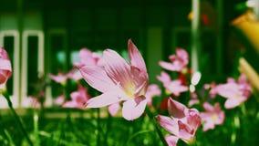För regnlilja för närbild som rosa blomma blåser i vinden på grön bakgrund, Zephyranthes minuta lager videofilmer