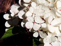 För Renhy för vanlig hortensiapaniculata` Vanille Fraise för ` ` ` - paniclevanlig hortensia Arkivfoto