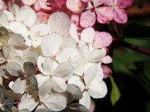 För Renhy för vanlig hortensiapaniculata` Vanille Fraise för ` ` ` - paniclevanlig hortensia Arkivbilder