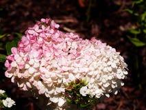 För Renhy för vanlig hortensiapaniculata` Vanille Fraise för ` ` ` - paniclevanlig hortensia Fotografering för Bildbyråer