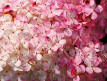För Renhy för vanlig hortensiapaniculata` Vanille Fraise för ` ` ` - paniclevanlig hortensia Royaltyfria Foton