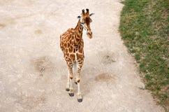 för republiktown för cesky tjeckisk krumlov medeltida gammal sikt Prague Prague zoo Giraff Juni 12, 2016 Royaltyfri Fotografi