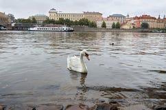 för republiktown för cesky tjeckisk krumlov medeltida gammal sikt Svan på den Vltava floden i bakgrunden Charles Bridge 17 juni 2 Royaltyfri Fotografi