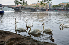 för republiktown för cesky tjeckisk krumlov medeltida gammal sikt Svanar på den Vltava floden 17 juni 2016 Arkivfoton