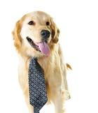 för retrievertie för hund guld- slitage royaltyfri bild