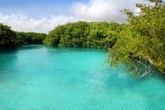 för riviera för cenotemangrove mayan vatten turkos royaltyfria bilder