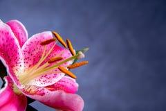 För rosa färger blomning lilly Arkivbild