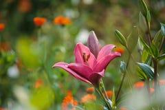 För rosa färger för Liliumblomma lilly closeup i sommaren Royaltyfria Bilder