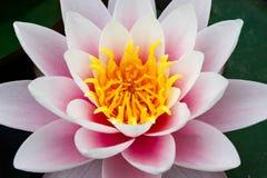 För rosa färger som blom waterlily fyller den fulla ramen med pollenfokusen arkivfoton