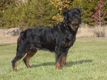 För Rottweiler för kvinnlig mästare stående full kropp arkivfoton