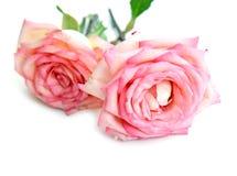 för rovektor för bakgrund härlig rosa white Royaltyfri Fotografi