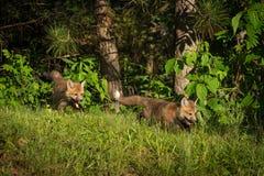 För satsvulpesen för den röda räven vulpesen kör ut ur trän Royaltyfri Bild