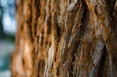 För Sequoiadendrongiganteum för jätte- sequoia skället för stam close upp Selektivt fokusera arkivbilder
