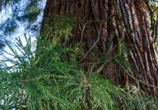 För Sequoiadendrongiganteum för jätte- sequoia stammen med filialen och gröna sidor close upp Selektivt fokusera royaltyfri fotografi