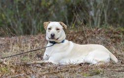 För Shar Pei för gul labbkines hund blandad avel Royaltyfri Fotografi