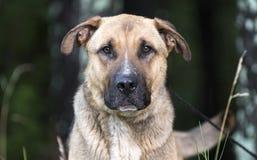 För Shar Pei för tysk herde som hund blandad avel viftar svansen Fotografering för Bildbyråer