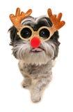 För shihtzu för glad jul hund Royaltyfri Fotografi