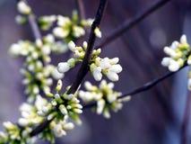'För Shirobana' för Cercis chinensis träd - Redbud - judas Arkivfoton