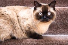För Shorthair för chokladpunkt brittiskt sammanträde katt på trappa Fotografering för Bildbyråer