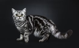 för Shorthair för utmärkt svartsilverstrimmig katt som flammiga brittiska kattungar katt isoleras på svart bakgrund royaltyfria bilder